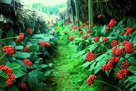 The Chinese will grow and process ginseng in Altai