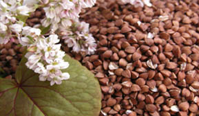 Record harvest of buckwheat is in Altai Krai