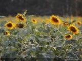 Dans le kraï d'Altaï on lance la production des combustibles à base d'écales de grains de tournesol
