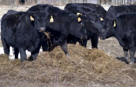 The complex of cattle-breeding will be in Altai Region before 2020th year